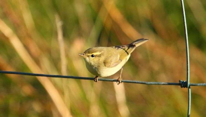 Greenish-Warbler
