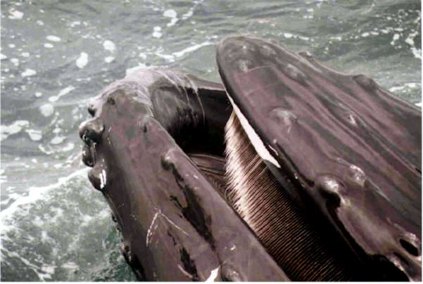 the evolution of baleen evidence from molecules and morphology