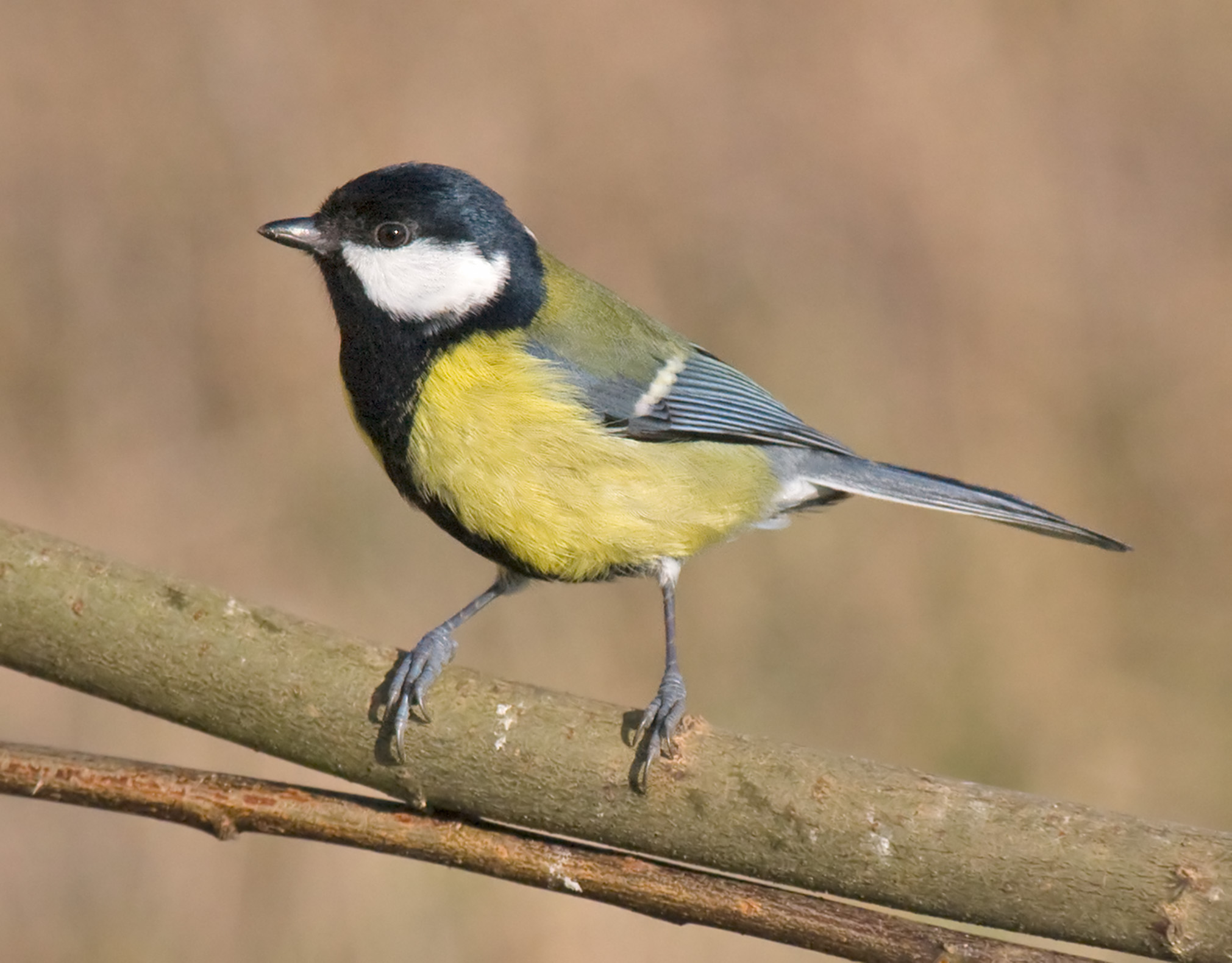 Great tits are one species which are adapting to city life,