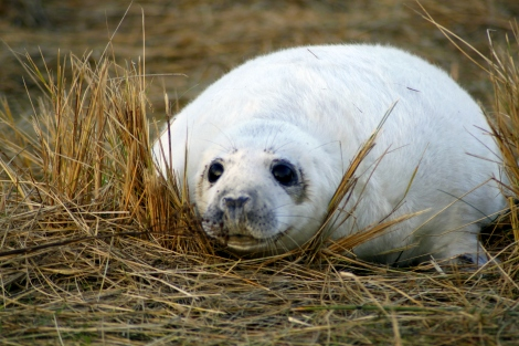 Grey seal pup in the grass