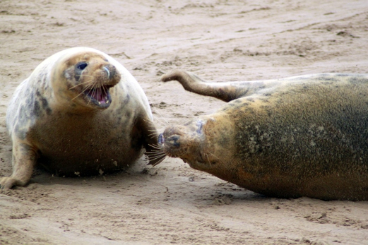 Two female grey seals fighting
