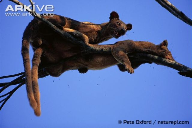 This image from Arkive shows the fossa mating tree.