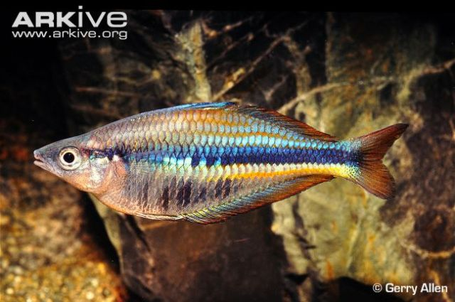 Allen's rainbowfish