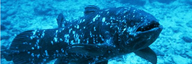 Coelacanth image