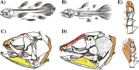 Comparison of the skeleton of modern and extinct coelacanths. A) Latimeria chalumnae (a modern species), B) Macropoma lewesiensis (extinct), C) L. chalumnae skull D) M. lewesiensis skull, E) Pectoral fins of L. chalumnae (above) and Shoshonia actopteryx (another extinct relative) (below). Image from Casane and Laurenti.