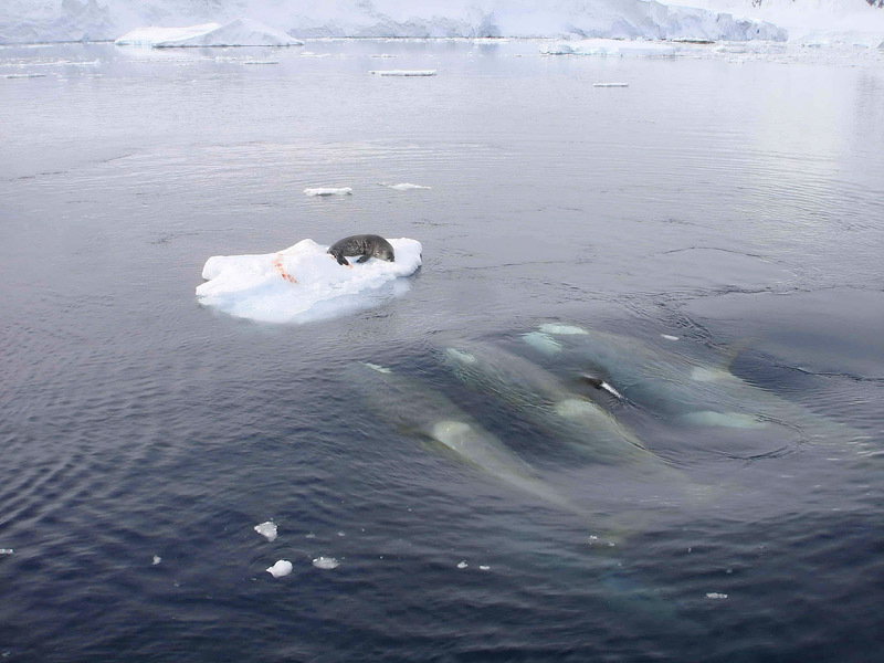 Good thesis for seal hunt?