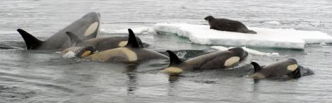 Orca wave wash
