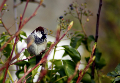 House sparrow (Passer domesticus) (3)