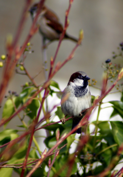 House sparrow (Passer domesticus) (4)