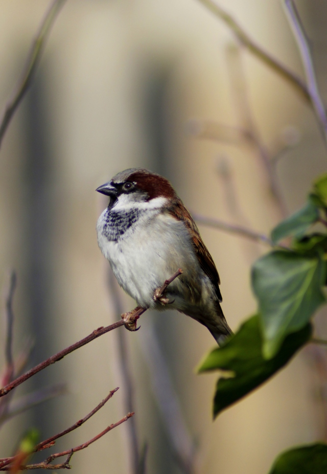 House sparrow (Passer domesticus) (5)