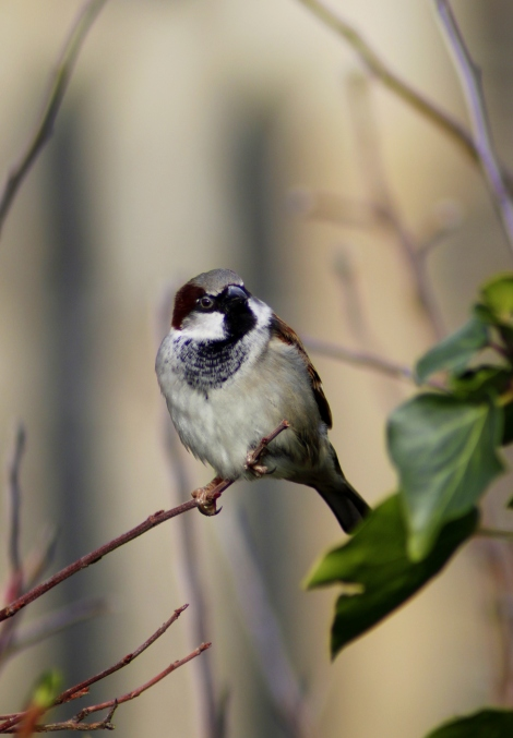 House sparrow (Passer domesticus) (6)