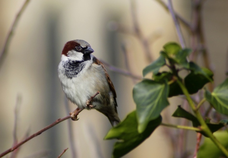 House sparrow (Passer domesticus) (7)