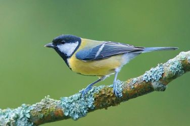 A Great tit (Parus major). Not a typical carnivore.