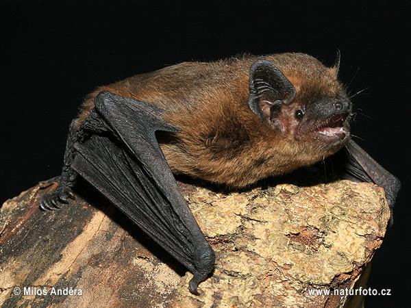 Great Tits Hunt For Pipistrelle Bats  U2013 Ecologica