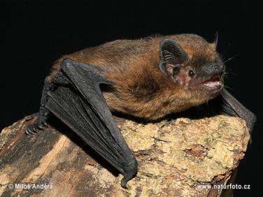 A common pipistrelle bat (Pipistrellus pipistrellus). Image from http://www.naturephoto-cz.com/