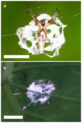 a) Cyclosa ginnaga standing on its web decoration. b) A bird dropping. Photos from Lui et al. (2014)