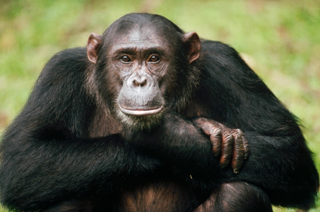 Deep in thought. Do chimps think like we do?