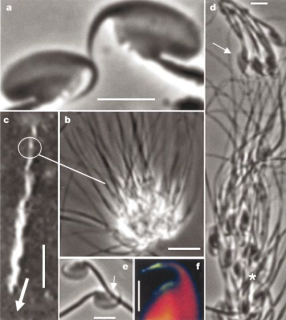 The sperm of the wood mouse (Apodemus sylvaticus). (a) Image of the sperm head with the hook clearly visible. (b) 50 sperm hooked together. (c) A clip from video footage of the sperm train. (d) Another view of the sperm train with an arrow and asterisk marking the position of hooks. (e) One sperm latching onto another. (f) Another view of a sperm hook.