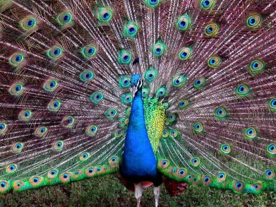 Male peacock (Parvus cristatus) aim to attract females by out-perform their rivals displays.