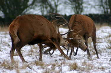 Male red deer (Cervus elephus) compete for females by fighting