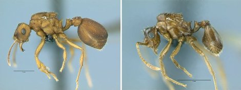 Did these two species evolve in sympatry? Mycocepurus goeldii (left) and Mycocepurus castrator (right) are sister species which occupy the same geographic area (image credit: Christian Rabeling, University of Rochester).