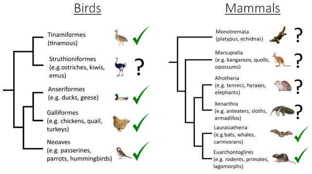 Lombard phylogeny birds and mammals