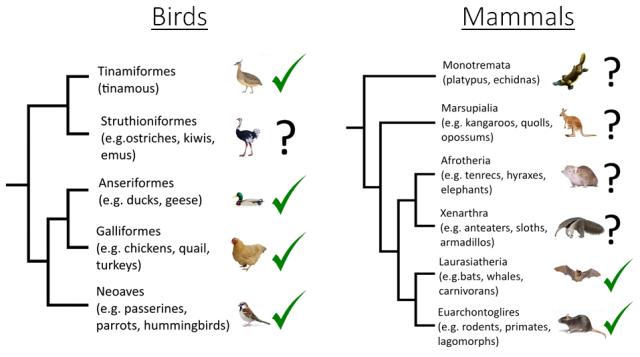Lombard phylogeny birds and mammals